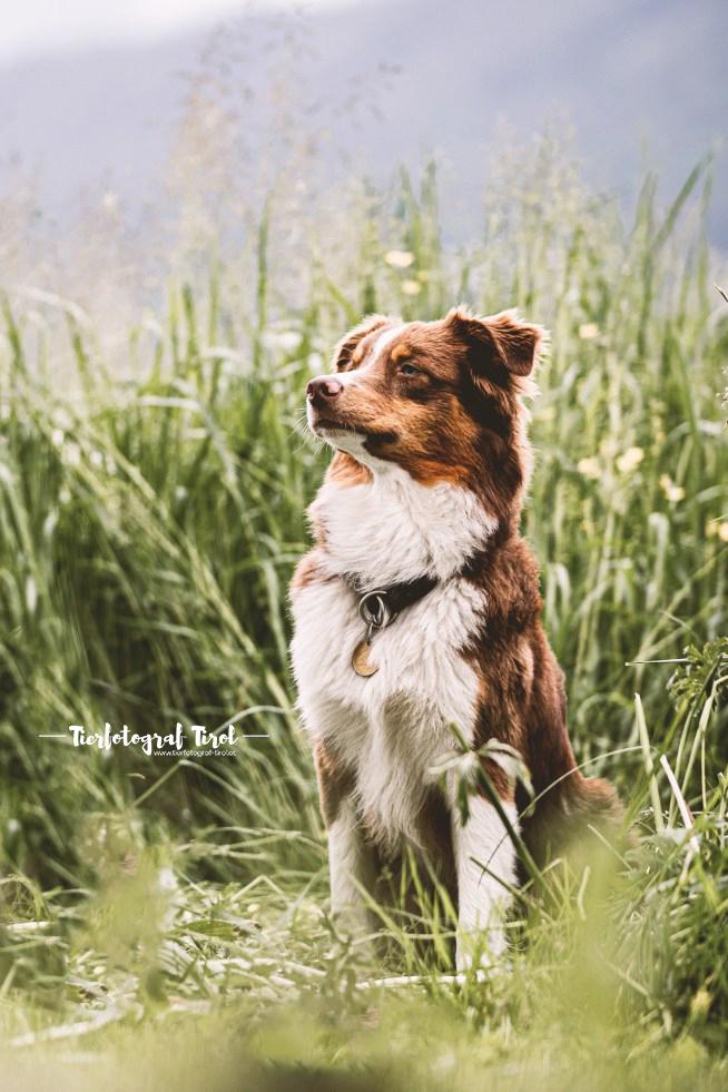 Hundefotograf Tirol | Hundefotos im Sommer